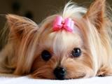 Собаки, щенки Эрдельтерьер, цена 10000 Грн., Фото