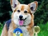 Собаки, щенята Вельш коргі пемброк, ціна 10000 Грн., Фото
