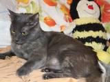 Кішки, кошенята Російська блакитна, Фото