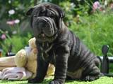 Собаки, щенки Шарпей, цена 2802 Грн., Фото