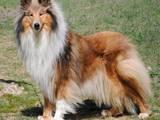 Собаки, щенки Длинношерстный колли, цена 4000 Грн., Фото