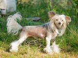 Собаки, щенята Китайська чубата собака, ціна 100 Грн., Фото