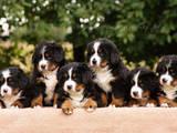 Собаки, щенки Бернская горная собака, Фото