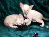 Кошки, котята Ориентальная, цена 2000 Грн., Фото