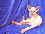Кішки, кошенята Орієнтальна, ціна 2000 Грн., Фото