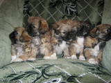 Собаки, щенята Пекінес, ціна 400 Грн., Фото