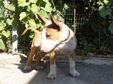 Собаки, щенки Бультерьер, цена 9065 Грн., Фото