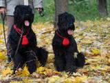 Собаки, щенки Черный терьер, цена 4000 Грн., Фото