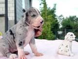 Собаки, щенята Німецький дог, ціна 4000 Грн., Фото