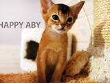 Кошки, котята Абиссинская, цена 9000 Грн., Фото