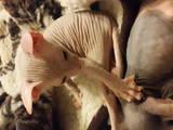 Кішки, кошенята Донський сфінкс, ціна 800 Грн., Фото