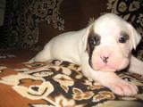 Собаки, щенята Боксер, ціна 3500 Грн., Фото