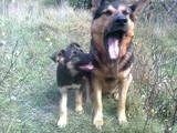 Собаки, щенята Східно-Європейська вівчарка, ціна 500 Грн., Фото