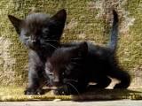 Кішки, кошенята Сіамська, ціна 20 Грн., Фото