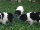 Собаки, щенки Ньюфаундленд, цена 6000 Грн., Фото
