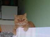Кошки, котята Экзотическая короткошерстная, цена 600 Грн., Фото