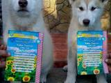 Собаки, щенята Аляска маламут, ціна 6000 Грн., Фото