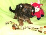 Собаки, щенки Русский длинношерстный тойтерьер, цена 1500 Грн., Фото