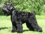Собаки, щенята Чорний тер'єр, ціна 7000 Грн., Фото