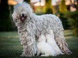 Собаки, щенки Комондор, цена 11000 Грн., Фото