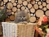 Кішки, кошенята Highland Fold, ціна 2600 Грн., Фото