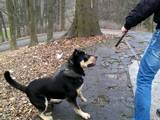 Собаки, щенята Мальоркскій бульдог (Ка Де Бо), Фото