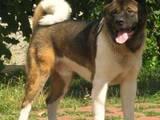 Собаки, щенята Акіта-іну, ціна 9000 Грн., Фото
