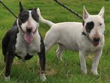 Собаки, щенята Бультер'єр, ціна 500 Грн., Фото