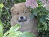 Собаки, щенята Чау-чау, ціна 3200 Грн., Фото