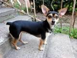 Собаки, щенята Карликовий пінчер, ціна 2600 Грн., Фото