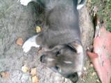 Собаки, щенки Восточно-Сибирская лайка, цена 400 Грн., Фото