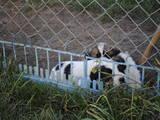 Собаки, щенята Московська сторожова, ціна 700 Грн., Фото