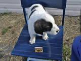 Собаки, щенки Московская сторожевая, цена 700 Грн., Фото