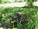 Собаки, щенята Російський гладкошерстий тойтерьер, ціна 500 Грн., Фото