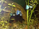 Рыбки, аквариумы Рыбки, цена 6 Грн., Фото