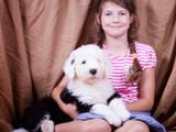 Собаки, щенки Бобтейль, цена 10000 Грн., Фото
