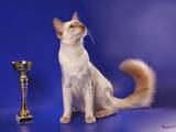 Кошки, котята Балинез, цена 800 Грн., Фото