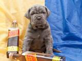 Собаки, щенята Мастіно неаполетано, ціна 7000 Грн., Фото