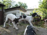Собаки, щенки Английский пойнтер, цена 1500 Грн., Фото