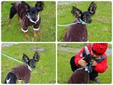Собаки, щенки Русский длинношерстный тойтерьер, Фото