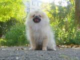 Собаки, щенки Малый шпиц, цена 6000 Грн., Фото