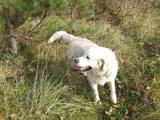 Собаки, щенки Золотистый ретривер, цена 1000 Грн., Фото