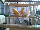 Попугаи и птицы Канарейки, цена 220 Грн., Фото