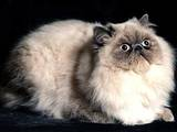 Кішки, кошенята Колор-пойнт короткошерстий, ціна 250 Грн., Фото