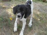 Собаки, щенята Англійський пойнтер, ціна 1500 Грн., Фото