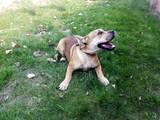 Собаки, щенки Мальоркский бульдог (Ка Де Бо), цена 2600 Грн., Фото