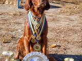 Собаки, щенки Ирландский сеттер, цена 10 Грн., Фото