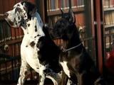 Собаки, щенки Немецкий дог, цена 12000 Грн., Фото