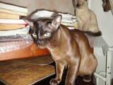 Кішки, кошенята Бурма, ціна 750 Грн., Фото