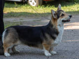 Собаки, щенки Вельш корги пемброк, цена 8000 Грн., Фото